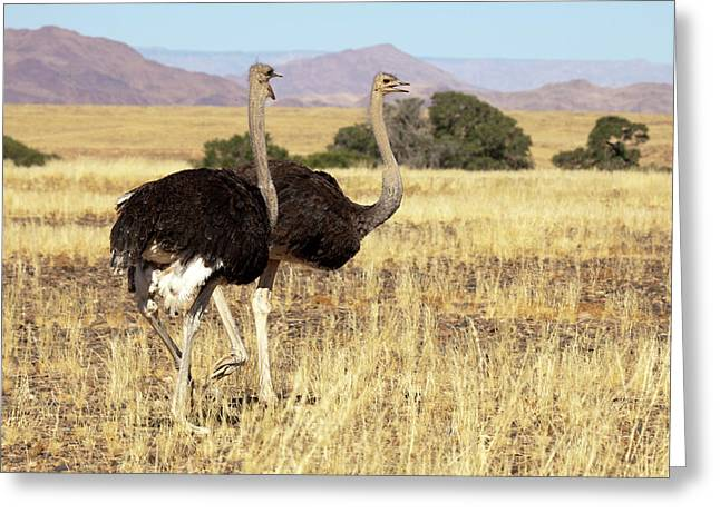 Close-up Of Ostrich (struthio Camelus Greeting Card by Jaynes Gallery