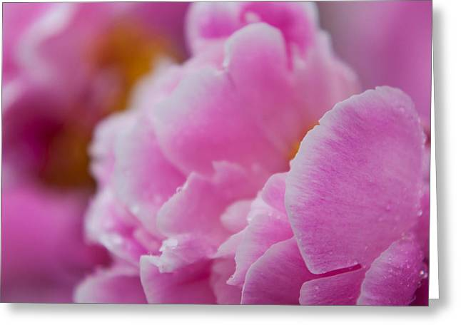 Close-up Of Peonies Greeting Card by Matt Dobson