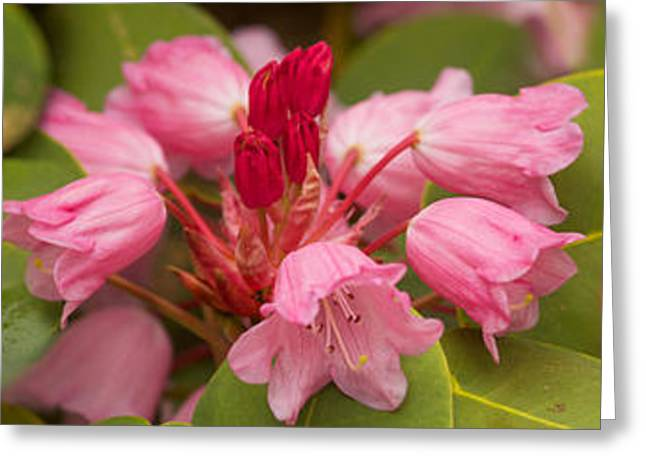 Close-up Of Pink Flowers In Bloom Greeting Card by Panoramic Images