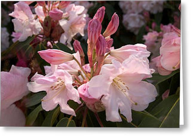 Close-up Of Pink Rhododendron Flowers Greeting Card