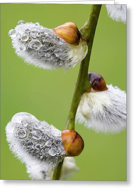 Close-up Of Rain Drops On Pussy Willows Greeting Card