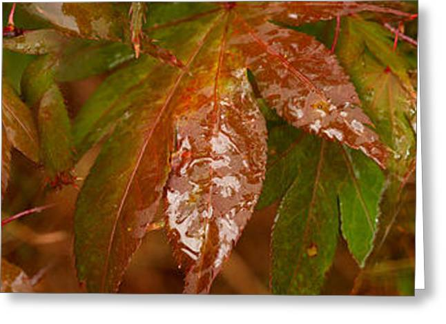 Close-up Of Raindrop On Maple Leaves Greeting Card