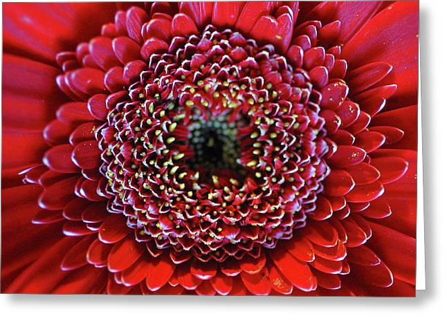 Close-up Of Red Daisy Greeting Card by Anna Miller