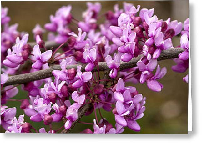 Close-up Of Redbud Tree Blossoms Greeting Card by Panoramic Images