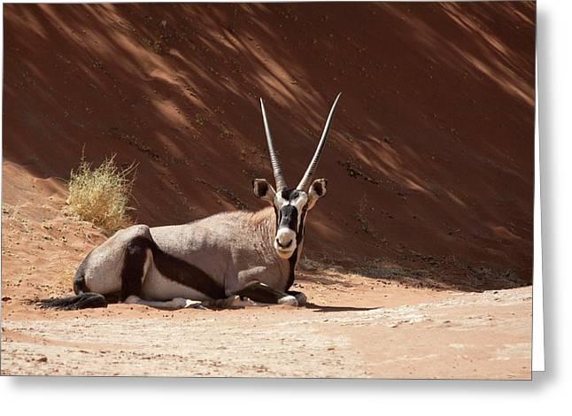 Close-up Of Resting Oryx (oryx Gazella Greeting Card by Jaynes Gallery