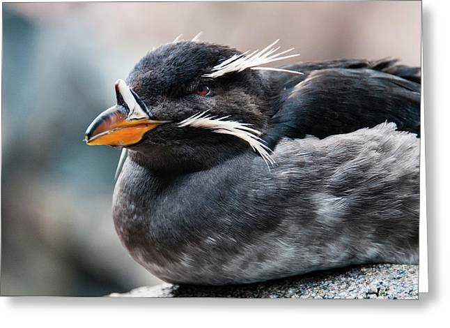 Close-up Of Rhinoceros Auklet Greeting Card