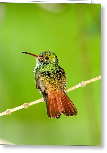 Close-up Of Rufous-tailed Hummingbird Greeting Card