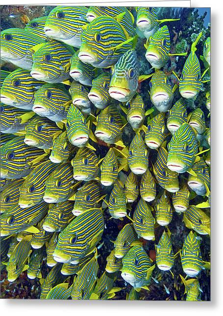 Close-up Of Schooling Sweetlip Fish Greeting Card by Jaynes Gallery