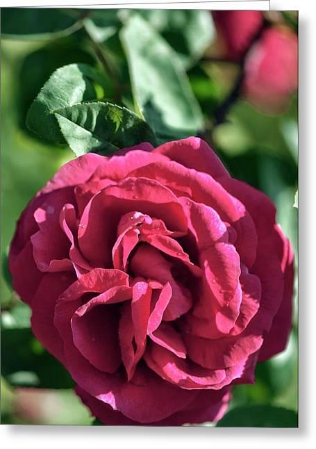 Close Up Of Single Rose (rosa Hybrid) Greeting Card by Maria Mosolova