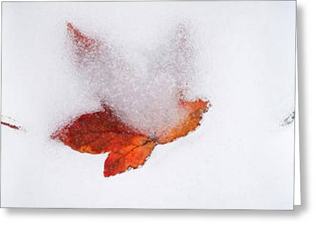 Close-up Of Snow Covered Maple Leaves Greeting Card