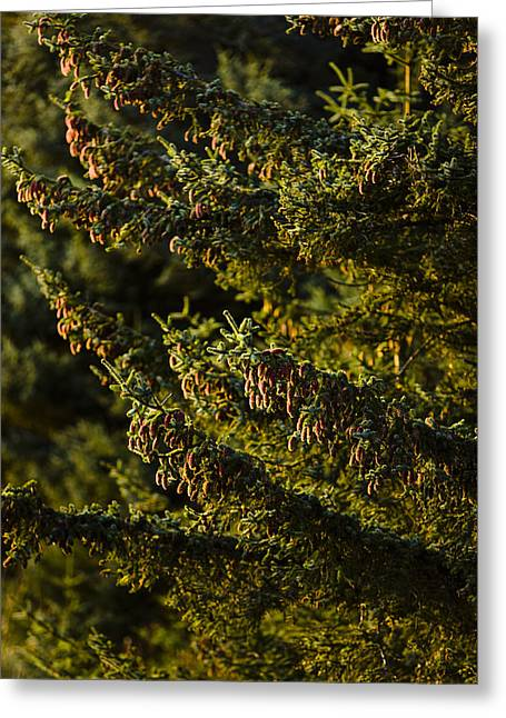 Close Up Of Spruce Tree, Autumn, Kodiak Greeting Card by Kevin Smith
