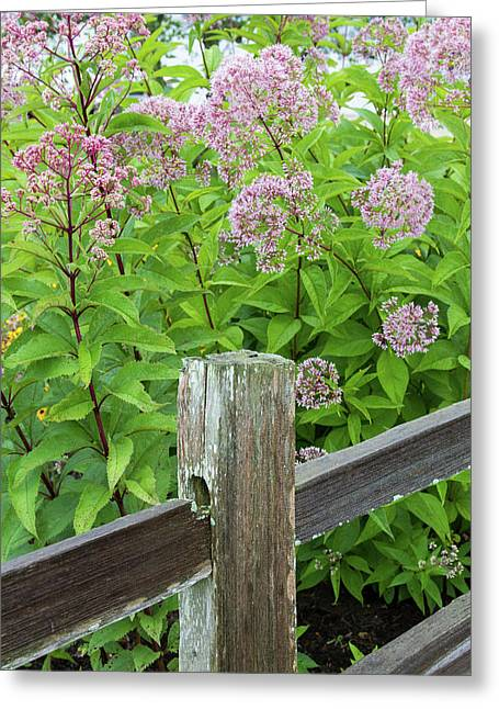 Close-up Of Sweetscented Joe Pye Weed Greeting Card by Panoramic Images