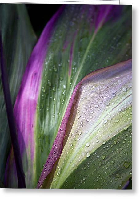 Close Up Of The Purple And Green Leaves Greeting Card