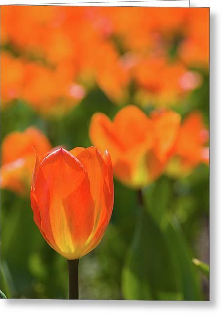 Close-up Of Tulip Flowers, Niagara Greeting Card