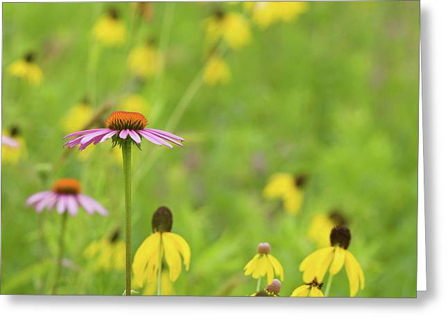 Close-up Of Various Coneflowers Greeting Card by Panoramic Images