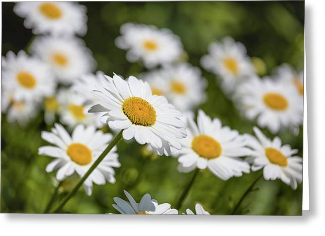 Close-up Of White Daisy Flowers Greeting Card