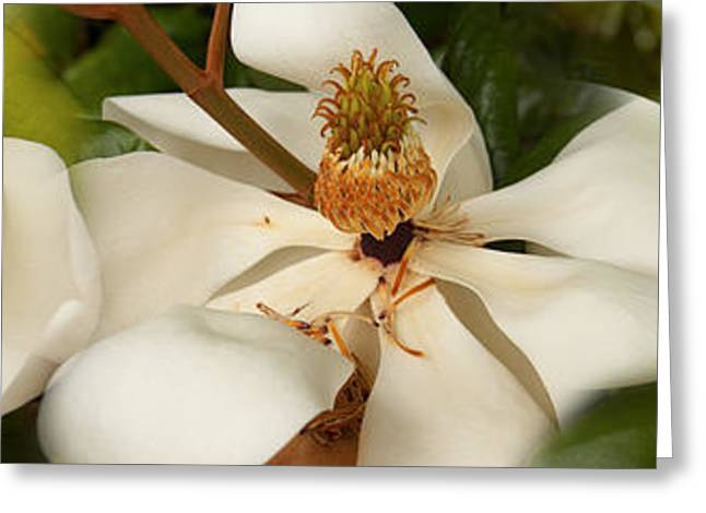 Close-up Of White Magnolia Flowers Greeting Card by Panoramic Images