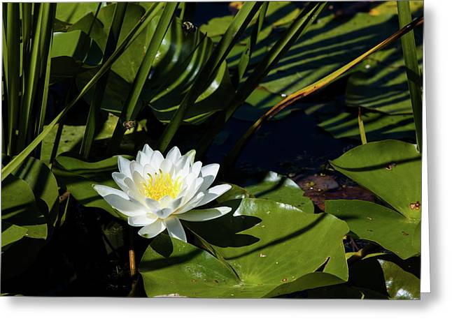 Close-up Of White Water Lily Flowers Greeting Card