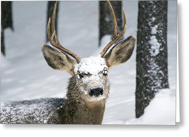 Close Up Of Winter Buck Greeting Card