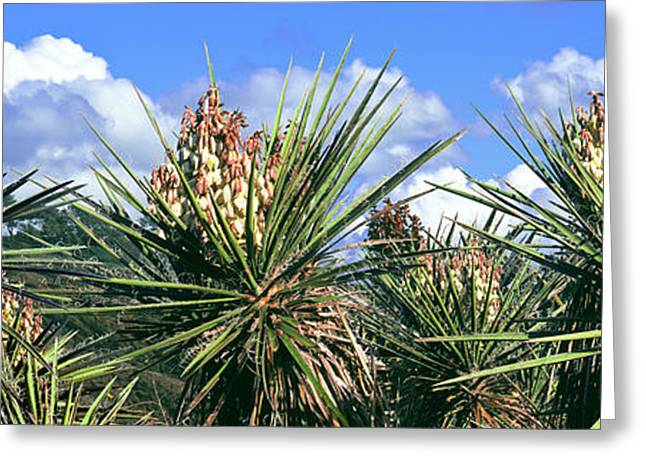 Close-up Of Yucca Plants In Bloom Greeting Card