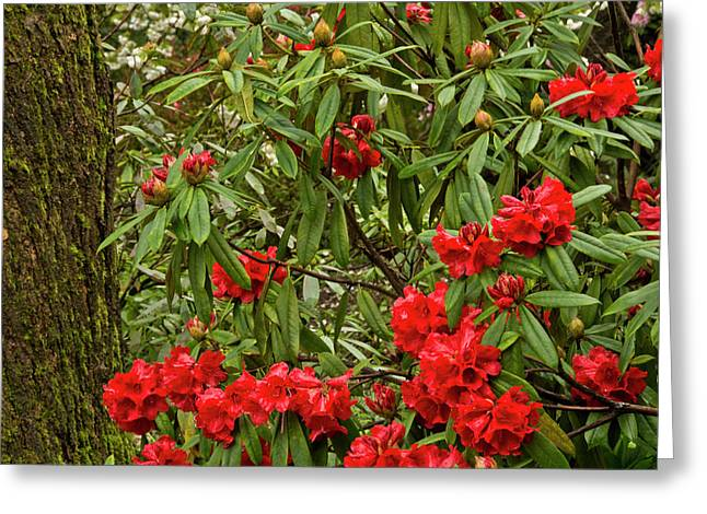 Close-up, Rhododendrons, Crystal Greeting Card by Michel Hersen