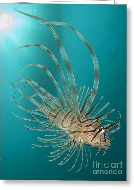 Close-up View Of A Lionfish, Gorontalo Greeting Card by Steve Jones