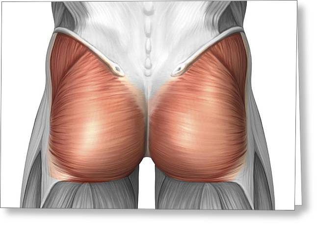 Close-up View Of Human Gluteal Muscles Greeting Card by Stocktrek Images