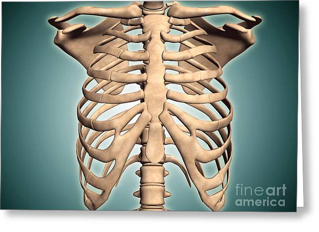 Close-up View Of Human Rib Cage Greeting Card by Stocktrek Images