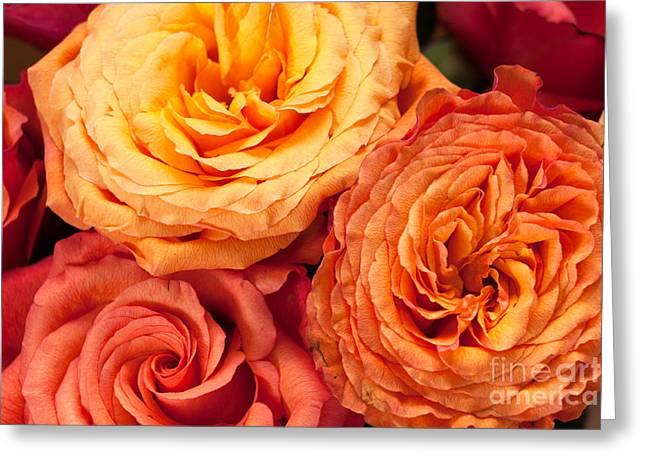 Close Up View Of Pink Orange Yellow Hybrid Tea Roses Greeting Card