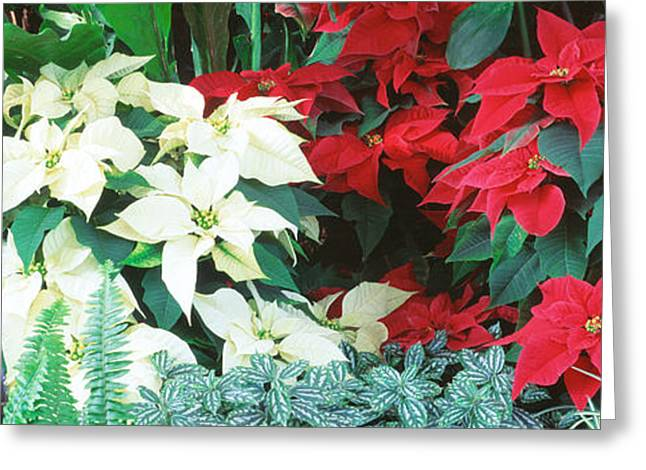 Close-us Of Red And White Poinsettias Greeting Card by Panoramic Images