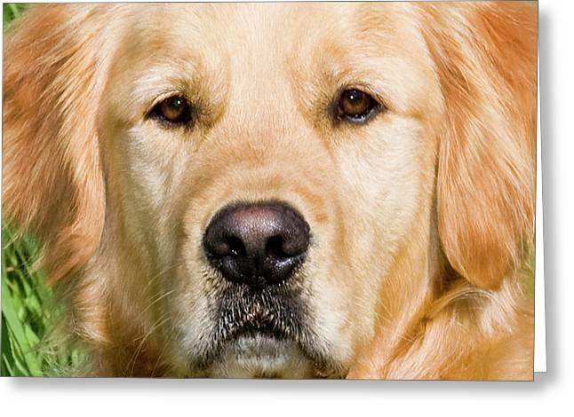 Close View Of Head Golden Retriever Greeting Card