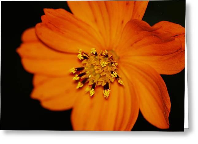 Closeup Cosmos Greeting Card by Monica Veraguth