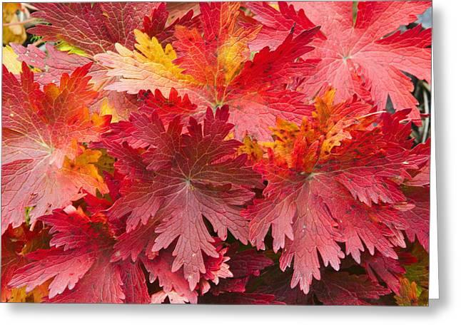 Closeup Detail Of Autumn Foliage Kodiak Greeting Card by Kevin Smith