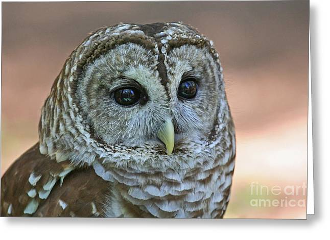 Closeup Of A Barred Owl  Greeting Card