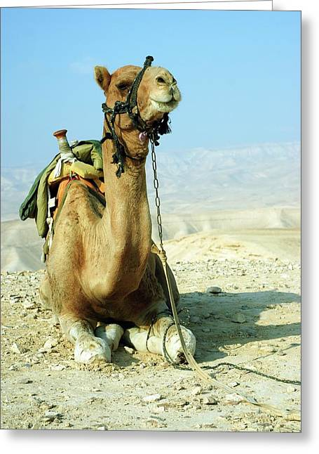 Closeup Of A Camel Greeting Card by Photostock-israel