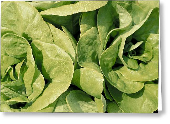 Closeup Of Boston Lettuce Greeting Card by Anonymous