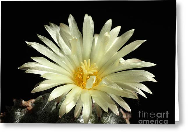 Closeup Of Cactus Flower Astrophytum Myriostigma Greeting Card by Kerstin Ivarsson