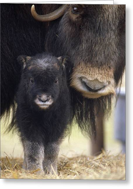 Closeup Of Muskox Cow Wcalf Captive Greeting Card by Doug Lindstrand