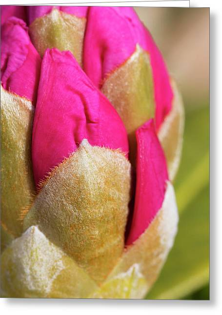 Closeup Of Rhododendron Flower Bud Greeting Card by Marion Owen