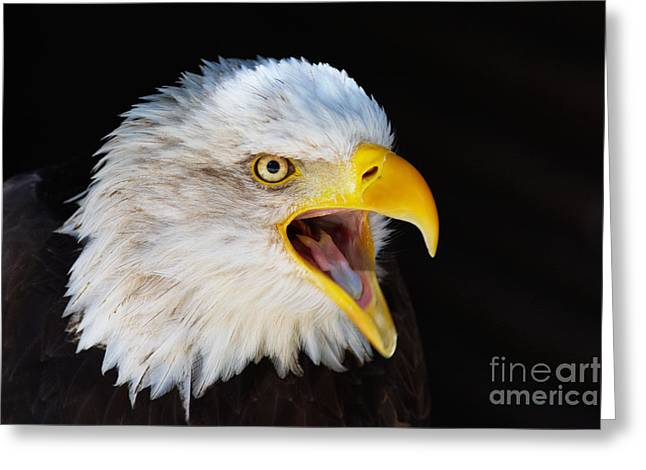 Closeup Portrait Of A Screaming American Bald Eagle Greeting Card