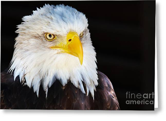 Closeup Portrait Of An American Bald Eagle Greeting Card