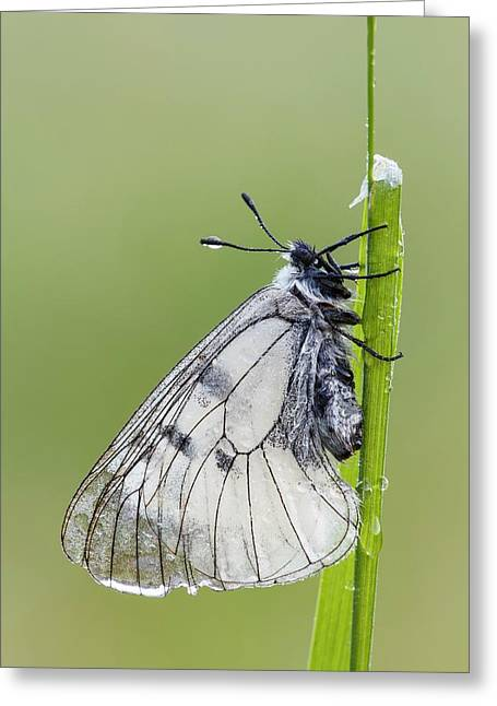 Clouded Apollo Butterfly Greeting Card by Heath Mcdonald