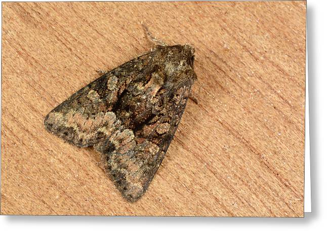 Clouded Brindle Moth Greeting Card