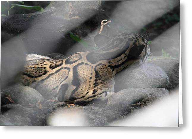 Clouded Leopard - National Zoo - 01135 Greeting Card by DC Photographer