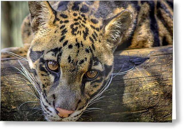 Greeting Card featuring the photograph Clouded Leopard by Steven Sparks