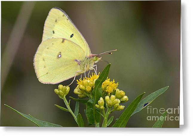 Clouded Sulphur Greeting Card by Randy Bodkins