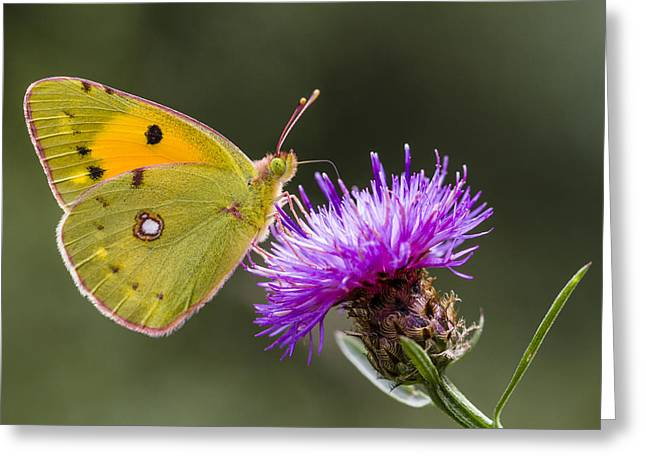Clouded Yellow Butterfly Feeding Greeting Card by Alex Huizinga