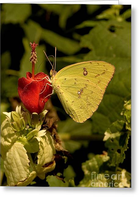 Cloudless Sulfur Butterfly Greeting Card