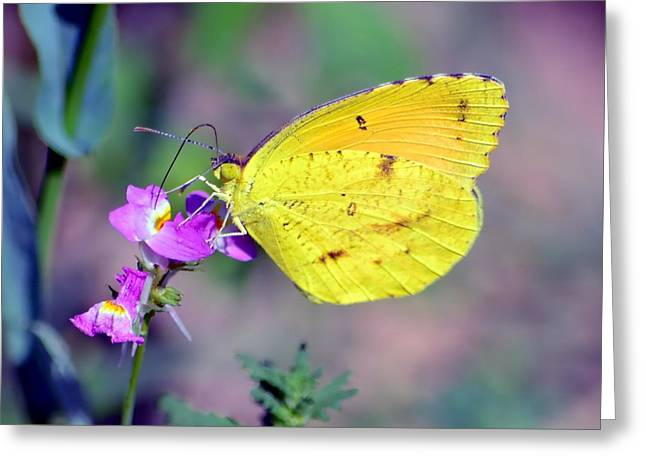 Cloudless Sulphur Greeting Card by Deena Stoddard