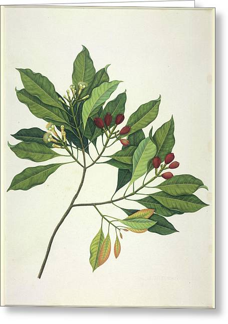 Clove Tree Greeting Card by British Library